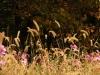 foxtail-grass-2