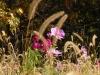 foxtail-grass-3